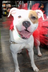Dog For Adoption Corley An American Bulldog In North Wales Pa