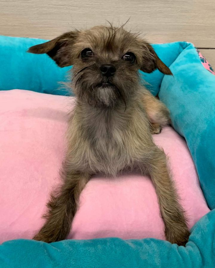 Candy, an adopted Shih Tzu & Chihuahua Mix in Lodi, NJ