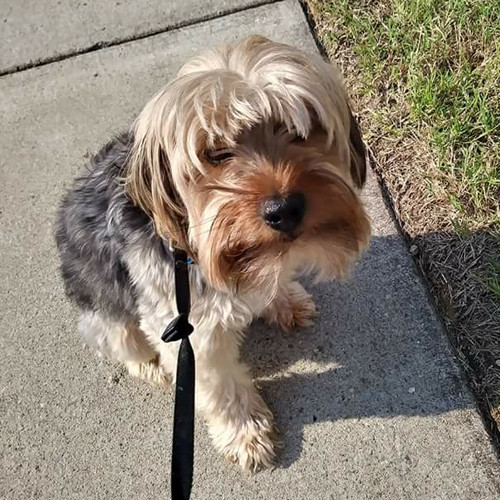 Marley, an adopted Yorkshire Terrier & Silky Terrier Mix in Media, PA