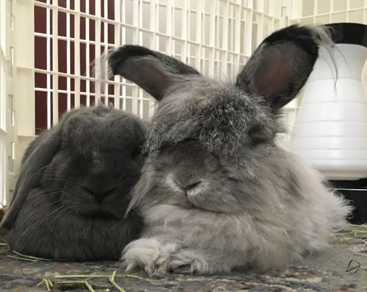Iggy and Ziggy, an adoptable Lop Eared & Angora Rabbit Mix in New York, NY