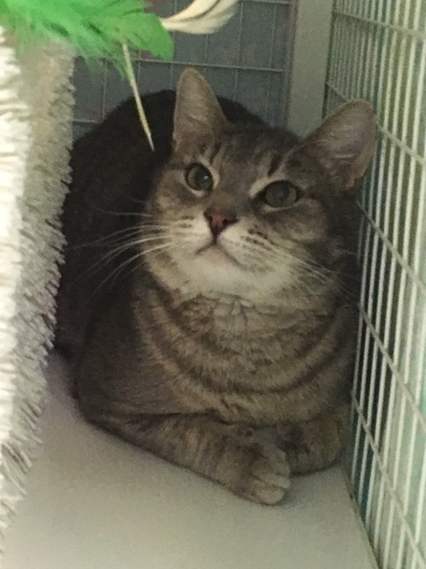 Tommy Boy, an adopted Domestic Short Hair in Redmond, WA