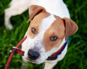 Dog for adoption - Grayson, a Pit Bull Terrier in Sherman Oaks, CA