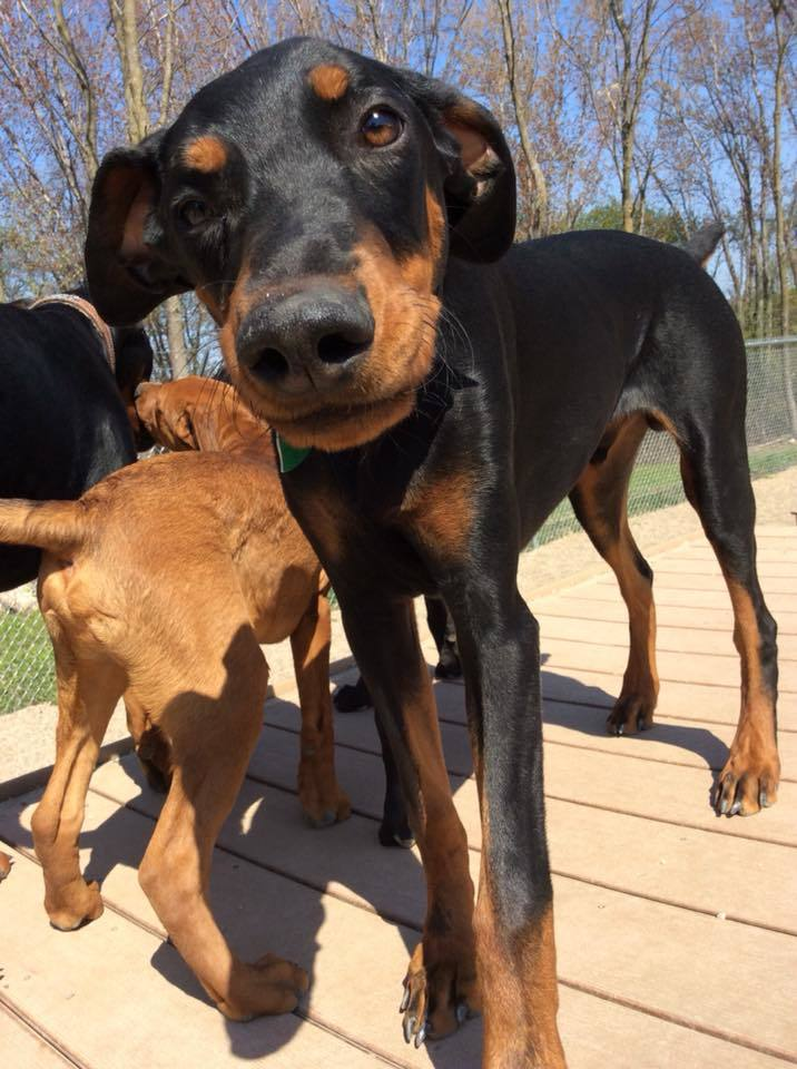 Sherman, an adopted Doberman Pinscher in Buffalo, MN
