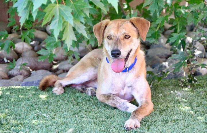 Mowgli 2-13-19 B, an adoptable Hound in Grass Valley, CA