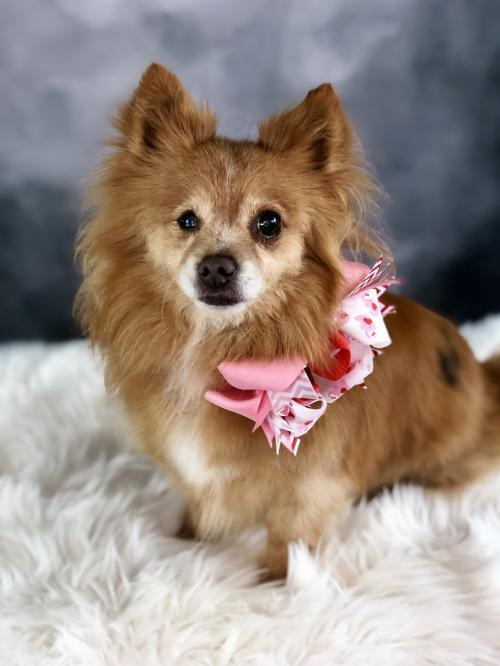 Dog For Adoption Lizzie A Pomeranian Chihuahua Mix In Dallas