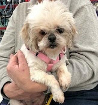 Dog For Adoption Babe A Shih Tzu In Lansing Mi Petfinder