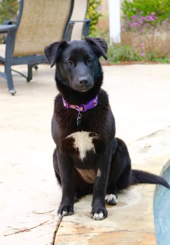 Presley, an adopted Border Collie Mix in Cypress, TX