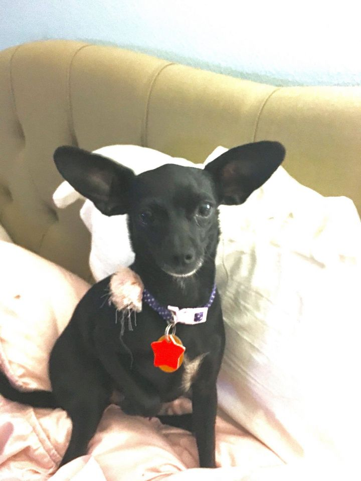 Charlotte, an adopted Chihuahua Mix in Cypress, TX