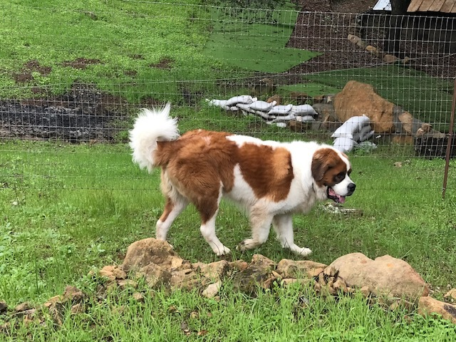Iorek Byrnison, an adoptable Saint Bernard in Goleta, CA