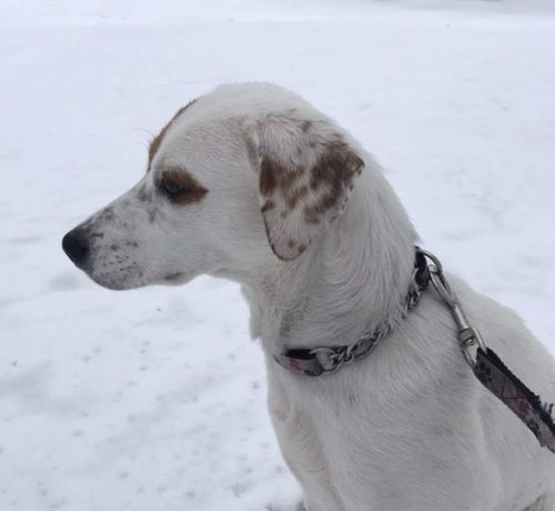 Ainsley, an adopted Jack Russell Terrier in Toronto, ON
