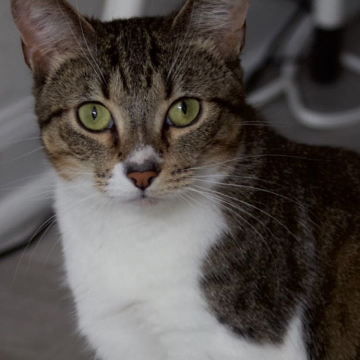 Arya Stark, an adoptable Domestic Short Hair in Chicago, IL