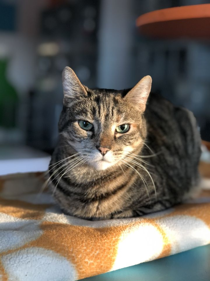 Viv, an adoptable Tabby & Calico Mix in Los Angeles, CA