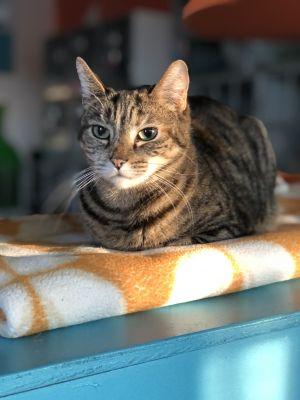 Viv Tabby Cat