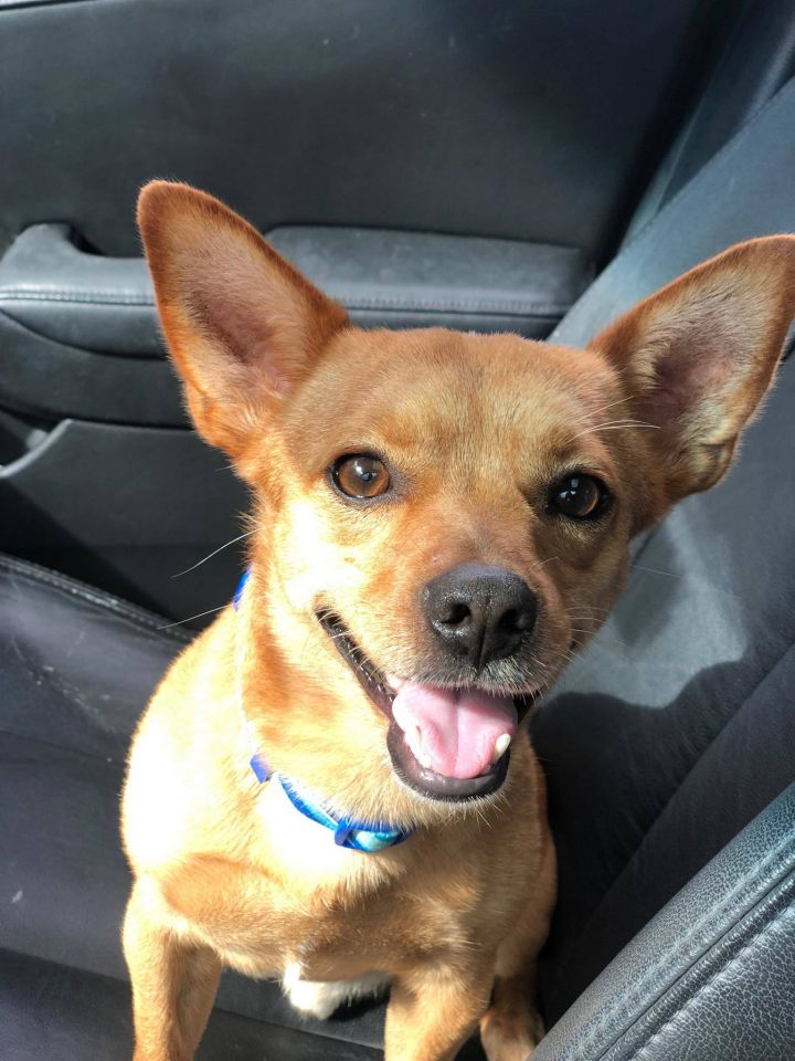 Miloh, an adopted Chihuahua Mix in Cypress, TX
