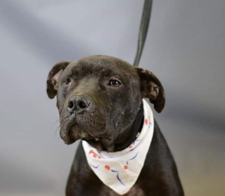 Captain Jack, an adoptable Staffordshire Bull Terrier Mix in Conover, NC