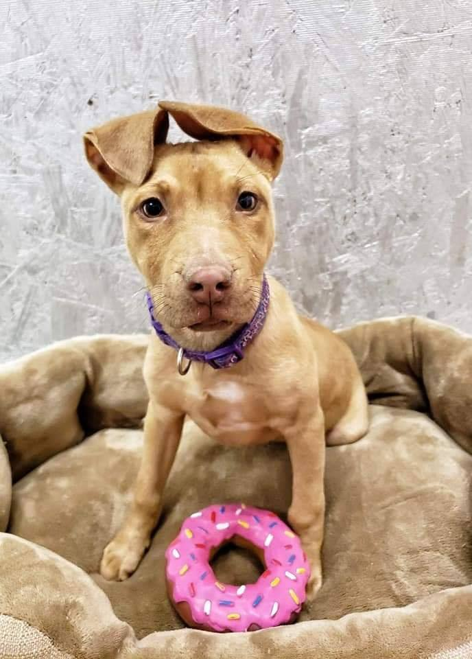 Dog For Adoption Teeka A Pit Bull Terrier Mix In Lubbock Tx