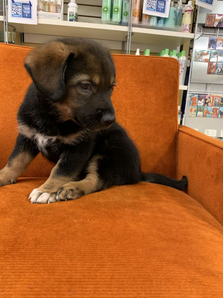 Dog For Adoption Astro A German Shepherd Dog Husky Mix In