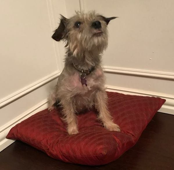 London, an adopted Miniature Schnauzer Mix in Grapevine, TX