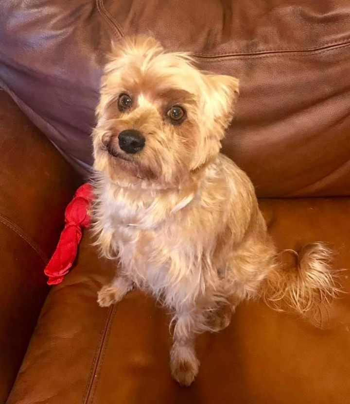 Dog For Adoption Smiley A Yorkshire Terrier Mix In Lubbock Tx