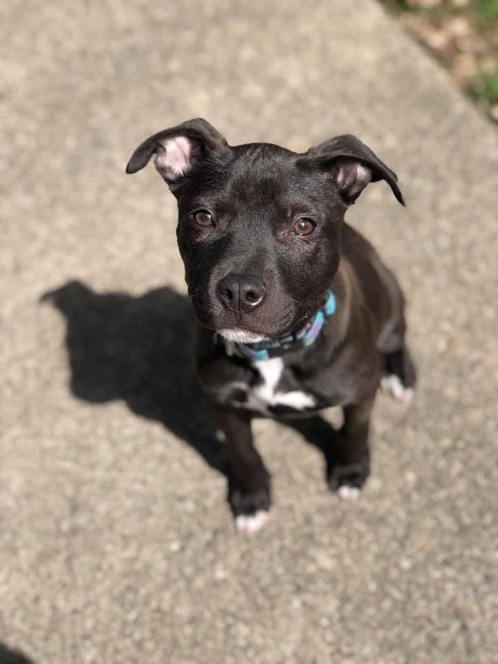 Lucia, an adopted American Staffordshire Terrier & Pit Bull Terrier Mix in Saint Paul, MN