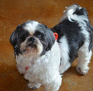 Freckles Turner Shih Tzu Dog