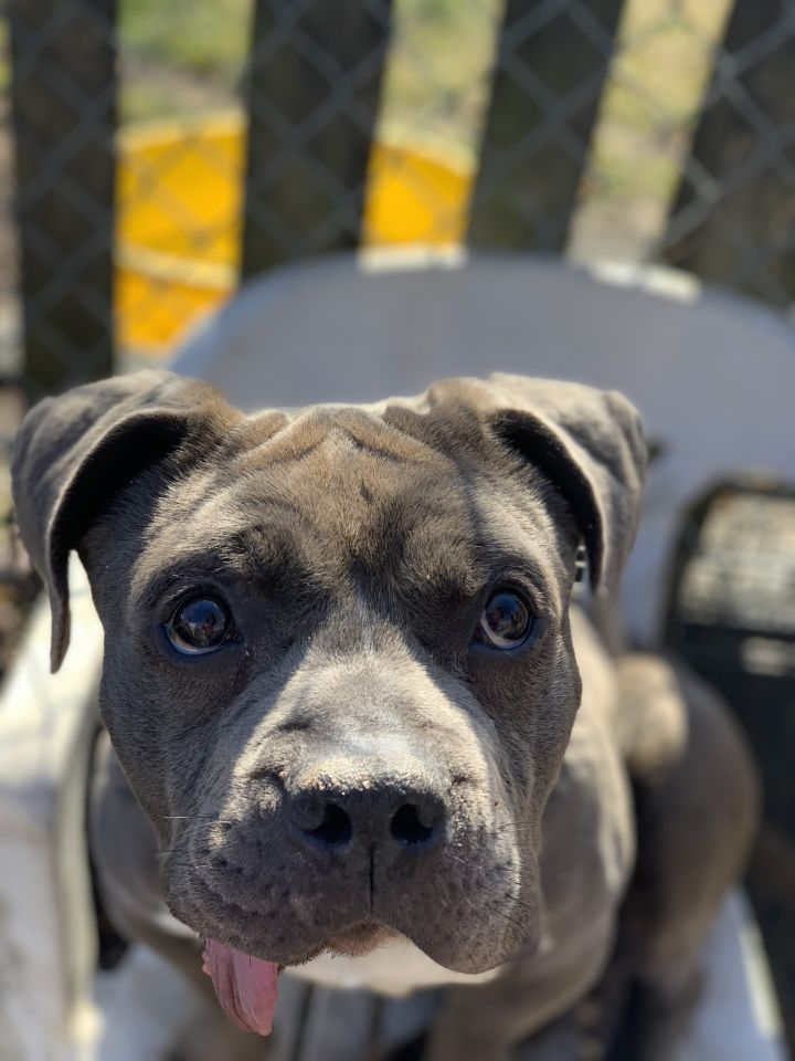 Ralphie, an adopted American Staffordshire Terrier in Trenton, NJ