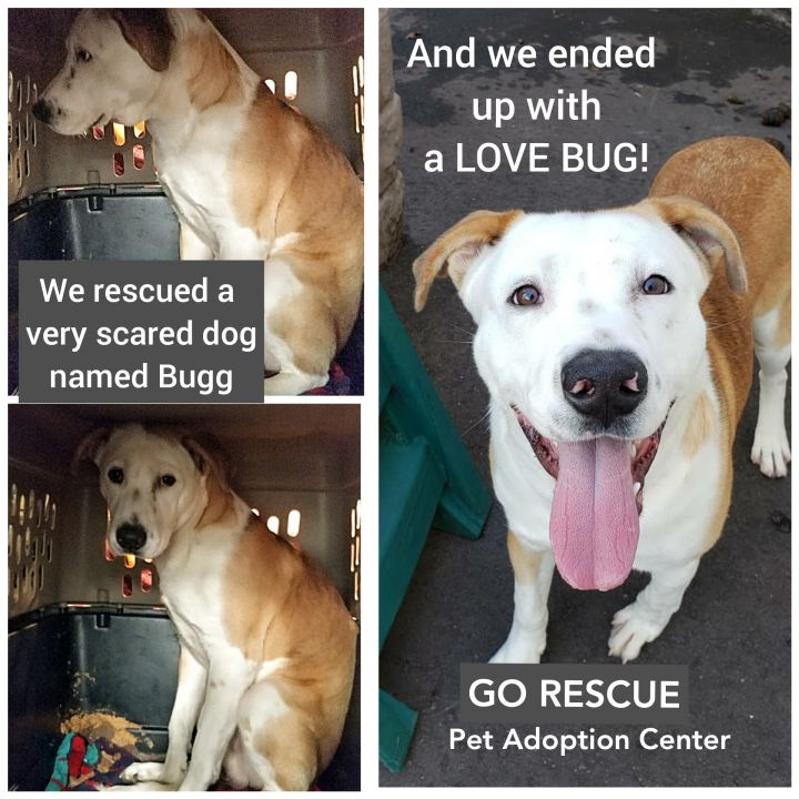 Dog for adoption - BUGG, a Boxer & American Bulldog Mix in