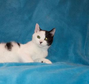 Diamond is a sweet and shy but loveable cat who sleeps in bed with her foster mo