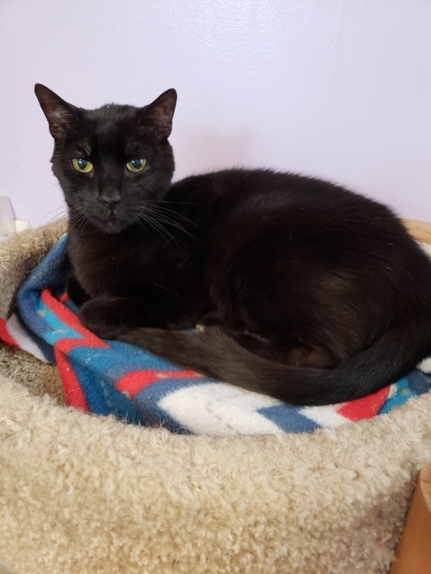 Cat For Adoption Hans A Domestic Short Hair In Albany Ny Petfinder