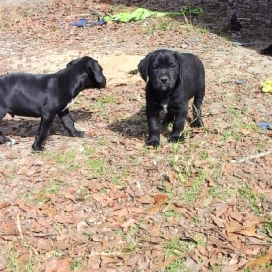 Dog For Adoption Lab Puppies A Labrador Retriever Mix In