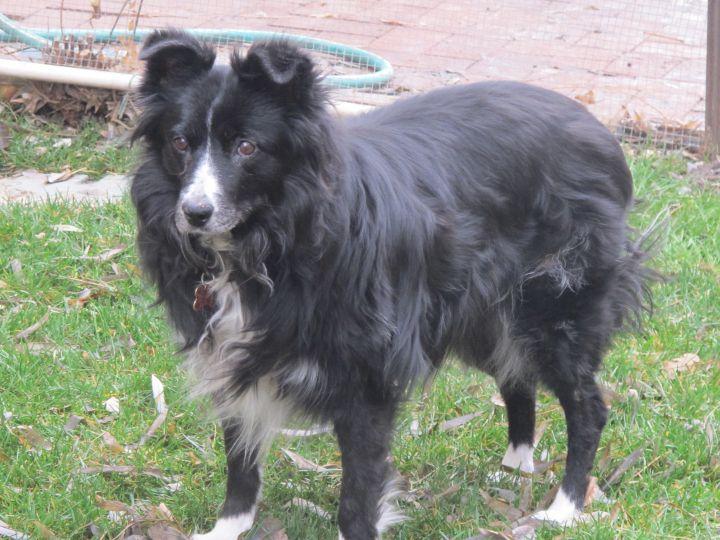 Dog For Adoption Lacey A Shetland Sheepdog Sheltie Border