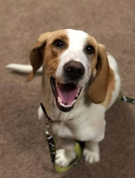 Belle, an adopted Basset Hound Mix in Minneapolis, MN