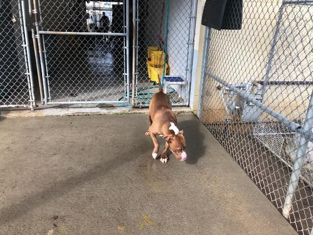 Dog for adoption - Rocky, a Pit Bull Terrier in Albany, GA