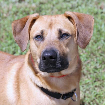 duke, an adoptable Labrador Retriever Mix in Loxahatchee, FL