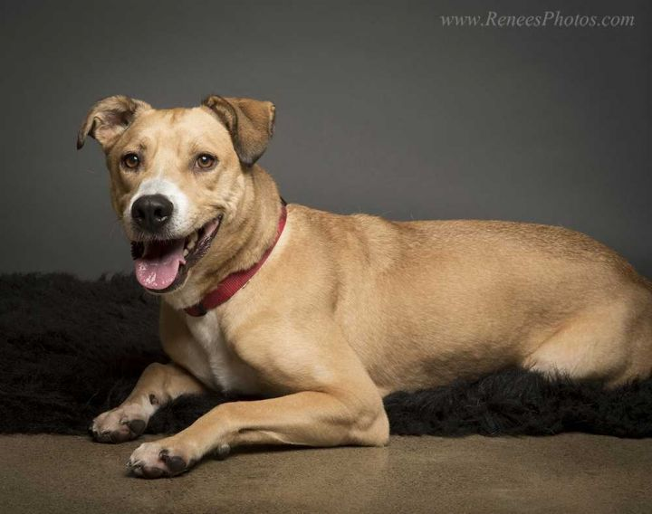 Diesel, an adoptable Labrador Retriever in New Albany, OH