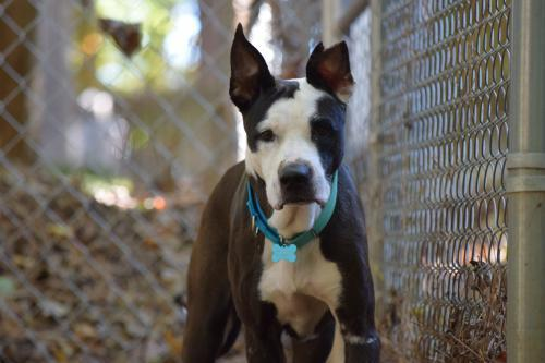 Bo, an adoptable Pit Bull Terrier Mix in Dallas, GA