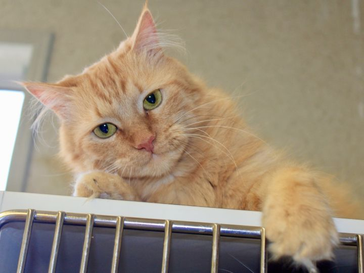C.W., an adoptable Domestic Long Hair in Grass Valley, CA