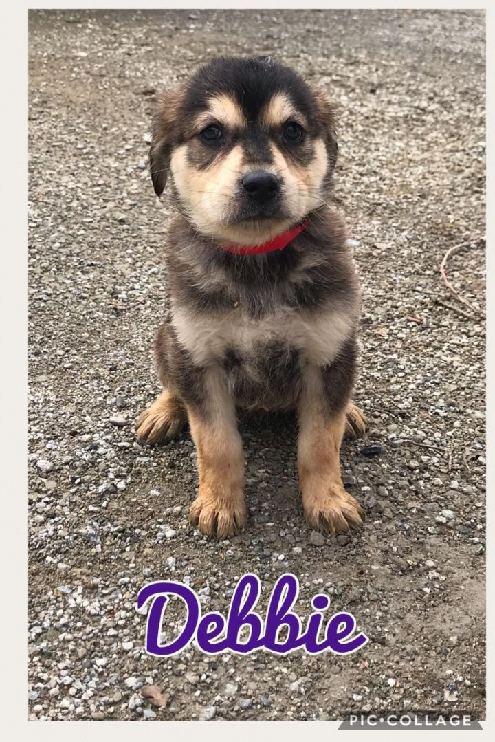 Dog For Adoption Debbie A German Shepherd Dog Husky Mix In San