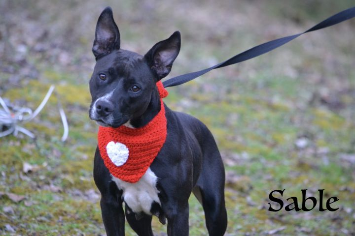 Sable, an adopted Pit Bull Terrier Mix in Sevierville, TN