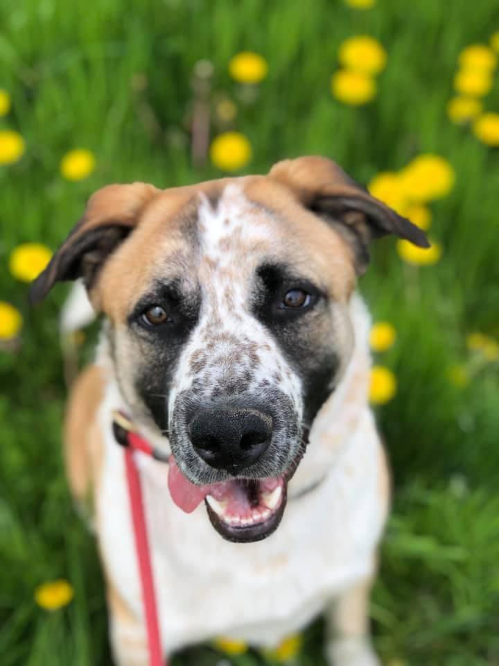 Ralf, an adoptable Australian Shepherd & German Shepherd Dog Mix in Lake Odessa, MI