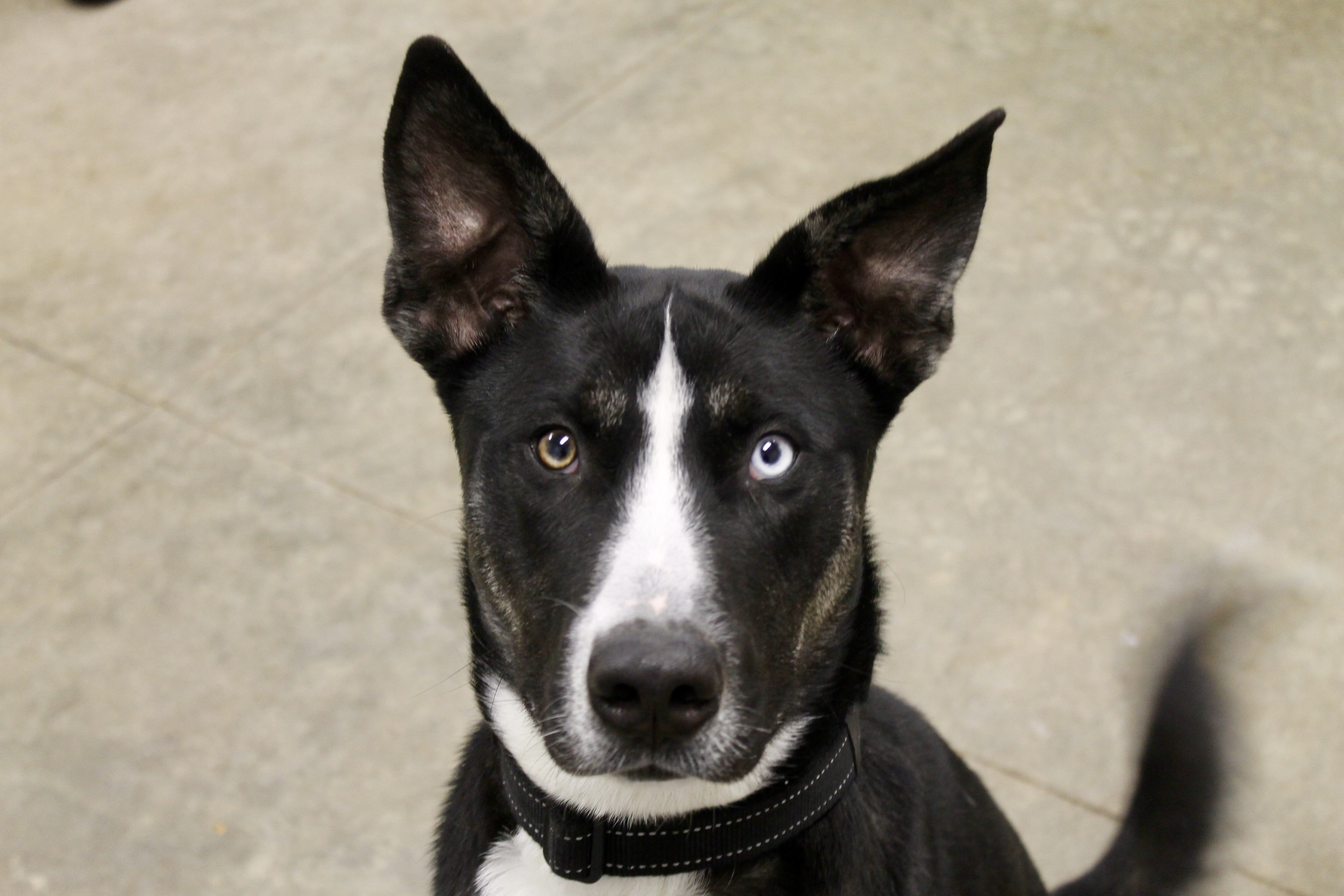 Hennessee, an adoptable Husky Mix in Lake Odessa, MI