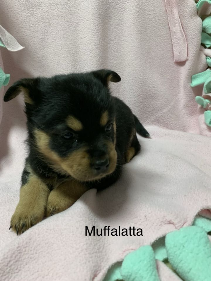 Dog For Adoption Muffalatta A Golden Retriever Chow Chow Mix In