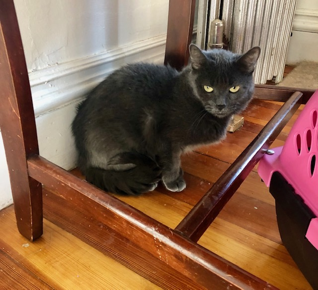 Cindy, an adopted Domestic Short Hair in Cambridge, MA