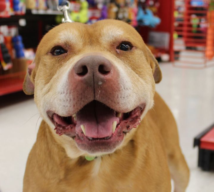 Cashew, an adoptable Pit Bull Terrier in Saint Charles, MO