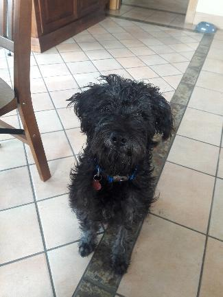 MAX, an adoptable Poodle Mix in Point Richmond, CA