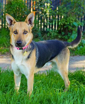 GORDY, an adoptable Shepherd Mix in Point Richmond, CA