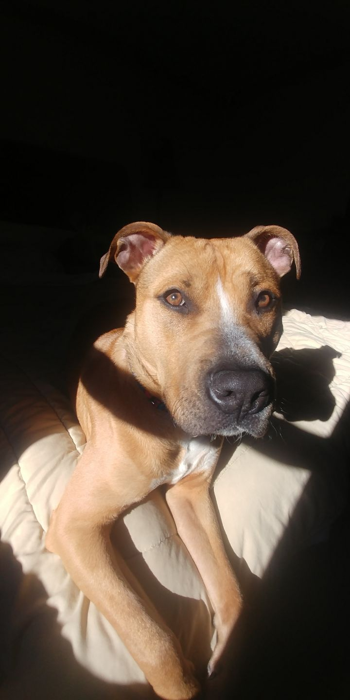 Bobby, an adoptable Pit Bull Terrier & Black Mouth Cur Mix in Natick, MA