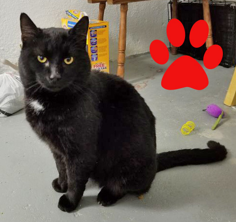 Toby-Reduced Adoption Fee, an adoptable Domestic Short Hair in Cincinnati, OH