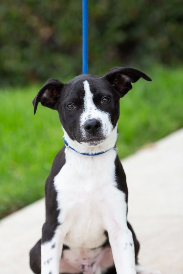 Dog For Adoption Martial Arts Puppies Males A Labrador