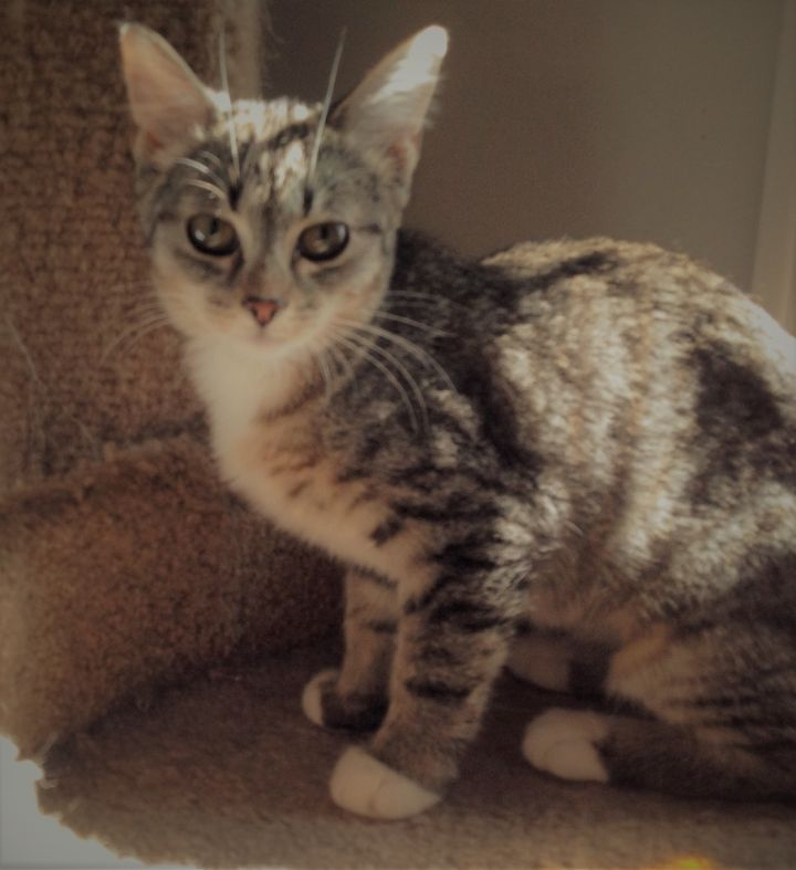 Jessie, an adoptable Domestic Short Hair & Tabby Mix in Hendersonville, TN